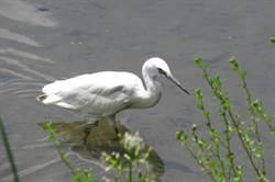 小白鷺、黃鶺鴒飛台灣!511「世界候鳥日」愛生態