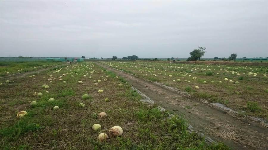 三月間大雨造成西瓜在小瓜時從底部開始爛,最近採收期才顯現出來。(周麗蘭攝)