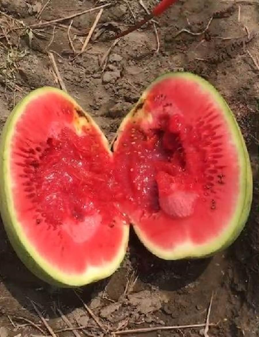 「栽仔病」的西瓜內部腐爛,成熟時會突然爆開來,在田裡爛掉。(周麗蘭翻攝)