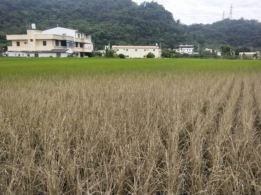 原本應該是一片綠油油的稻田,因為一場大火變成灰白模樣。(陳淑娥攝)
