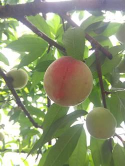 陽明山水蜜桃熟了 親子可共享採果樂