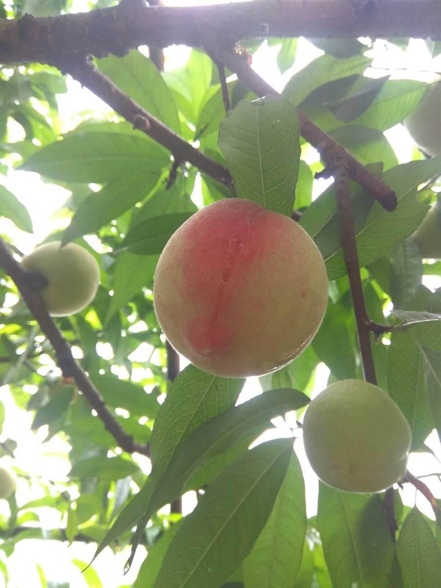 陽明山水蜜桃熟啦!位於陽明山上平菁街的元山水蜜桃果園,從5月底開始開放採果,水蜜桃產季約可持續到7月,這裡的水蜜桃都是網室栽植,無農藥危害。(元山水蜜桃園FB)