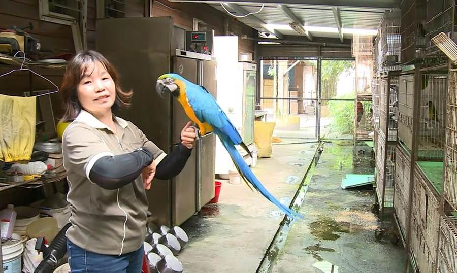 花蓮兆豐農場鸚鵡飼養員甘鳳梅與園內鸚鵡建立深厚感情,園區鸚鵡們都甜喊她「媽媽」。(張祈翻攝)