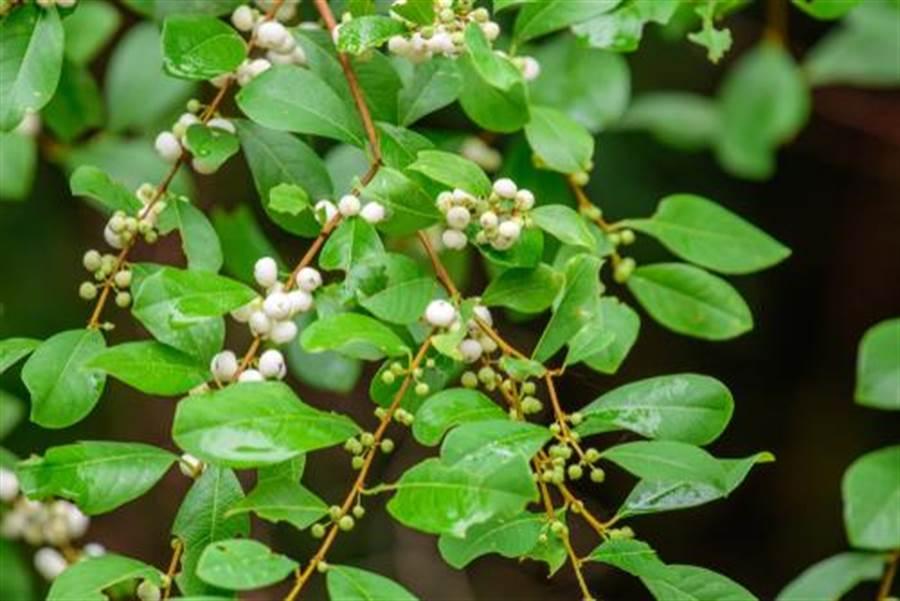 密花白飯樹可以入藥(圖片取自/達志影像)