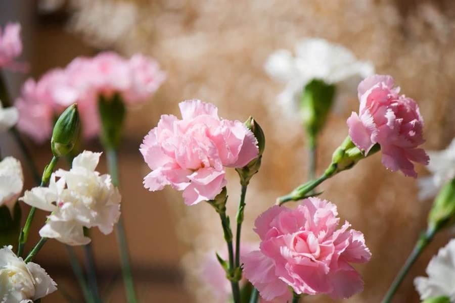 康乃馨也被稱為媽媽花或母親花。(圖/達志影像)