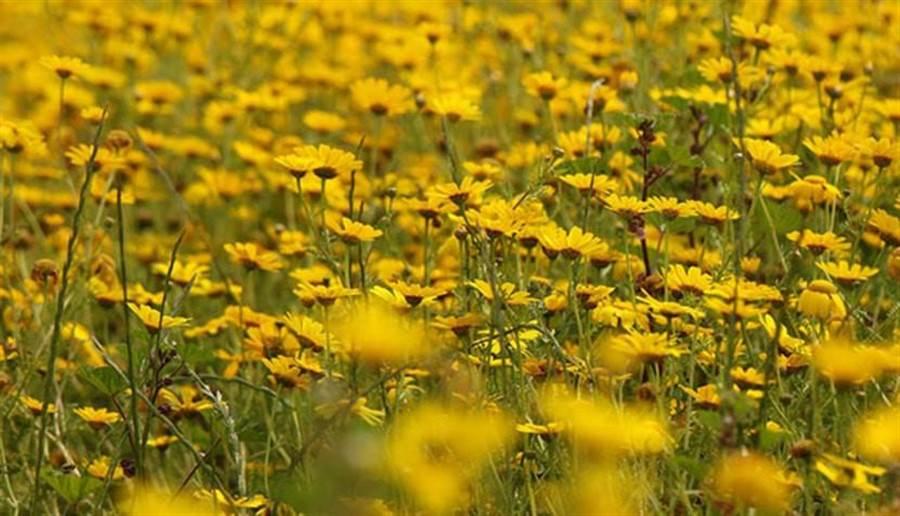 除了康乃馨,菊花也是澳洲人母親節送花的另一項選擇。(圖片來源/pixabay)