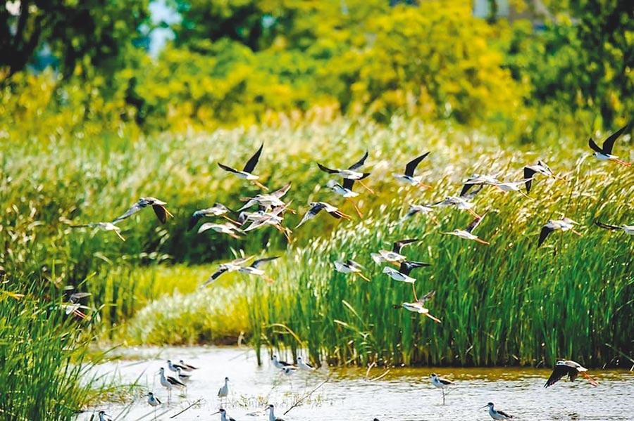 成群的高蹺鴴在宜科園區的水塘同時振翅起飛,畫面相當壯觀。(賴姓鳥友提供)