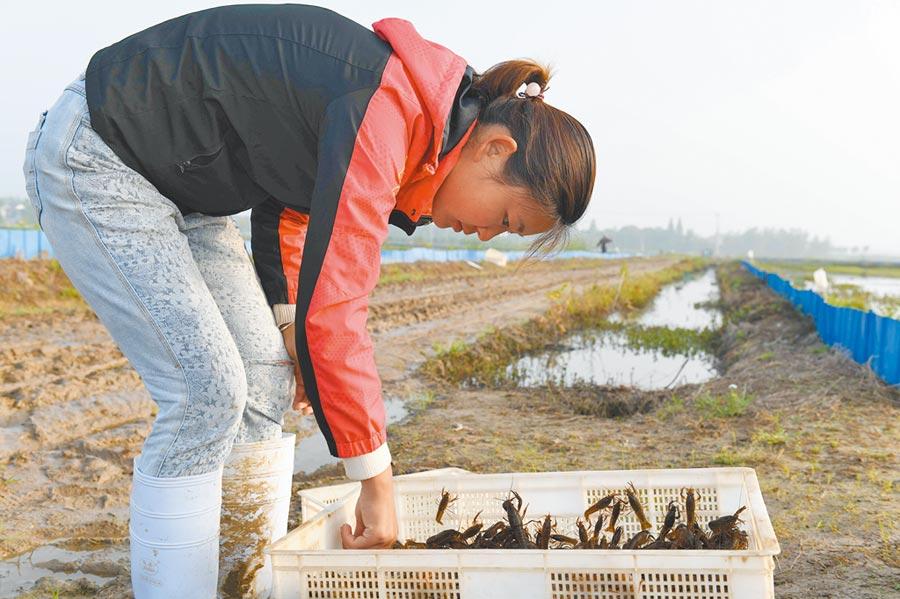 農民也是陸技職院校招生對象,圖為小龍蝦農戶將蝦苗裝箱準備出售。(新華社)