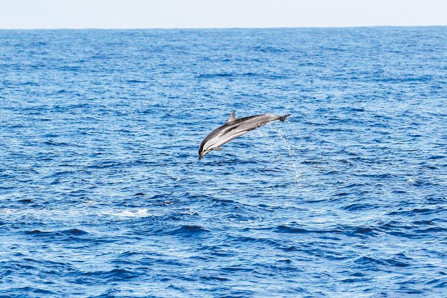 4月28日16時58分在南海海域拍攝到的條紋海豚。(中新社)