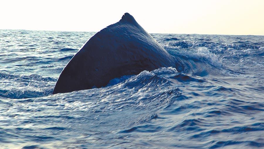 5月6日13時在南海海域拍攝到的抹香鯨(視頻截圖)。(中新社)