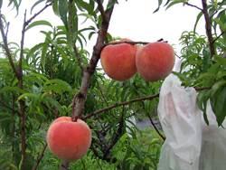 解決水蜜桃易壞 新品種「紅金」盼提升農民收益