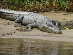 鱷魚趴農田曬太陽 警:以為惡作劇