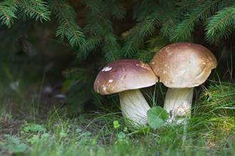 挖到霸王級蘑菇 重達3公斤好驚人