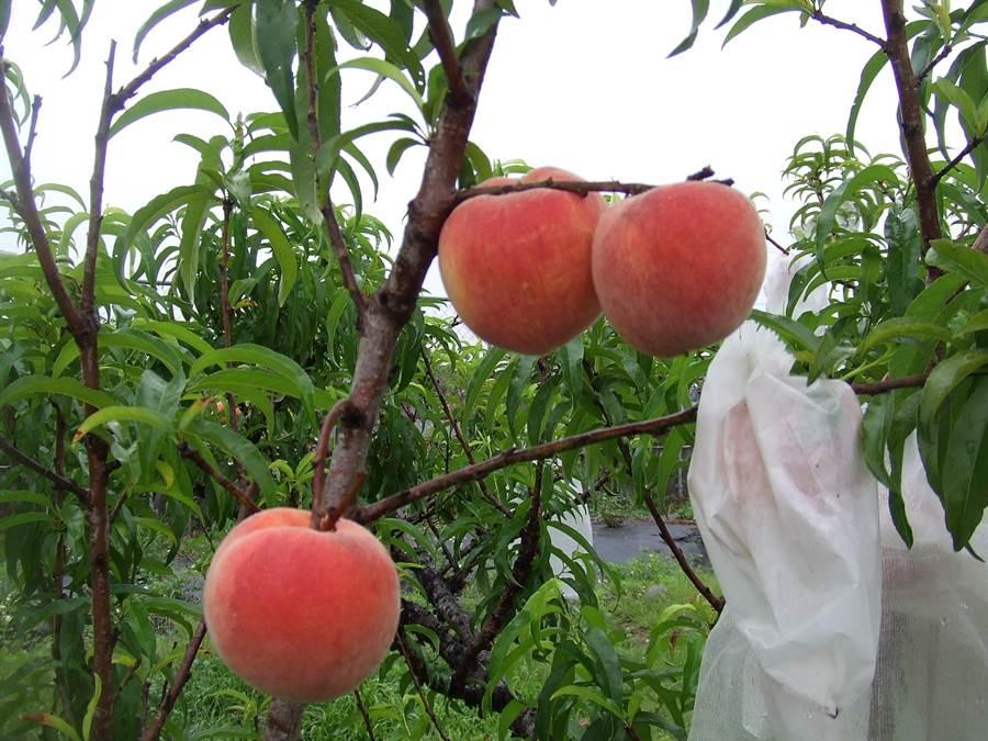 農試所歷經10年研究,成功研發出新品種黃肉水蜜桃「紅金」,市場潛力高。(農試所提供)