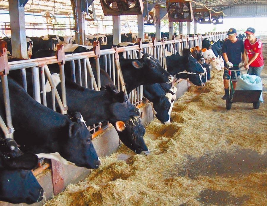 為解決農業缺工,即日起乳牛場可向勞動部申請外籍移工。(本報資料照片)