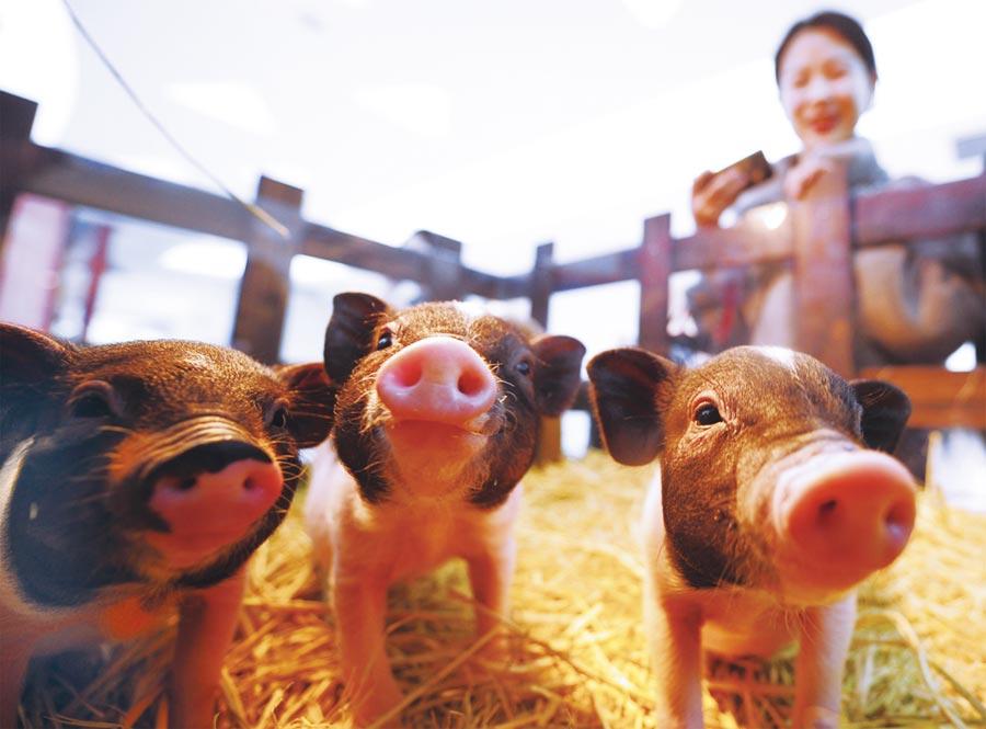 非洲豬瘟入侵香港。(CFP)