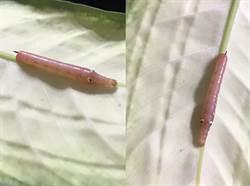 粉色毛蟲神似「佩佩豬」網揭真相