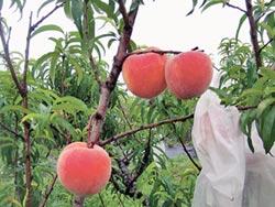 農試所推新品種紅金水蜜桃
