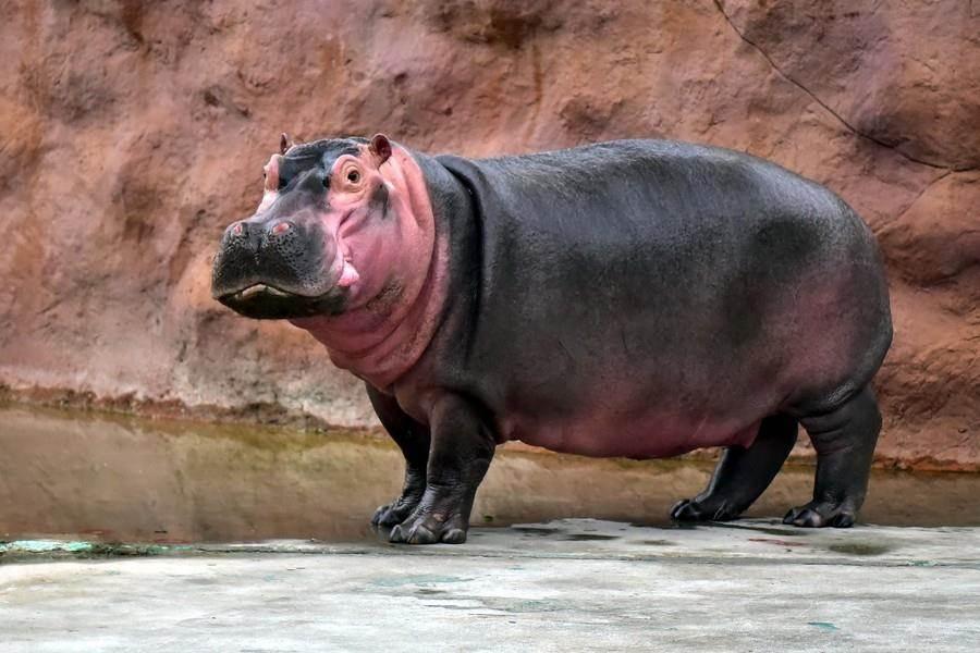 河馬哥哥「娜竹忠忠」哥哥對於弟弟的威嚇選擇迴避。(台北市立動物園提供)