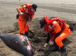 保育類「侏儒抹香鯨」橫屍竹南沙灘