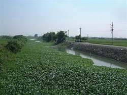 沿海大排布袋蓮增生阻水流 農漁民盼清除
