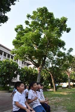 大仁國小校樹無患子 古早「肥皂樹」師生最愛