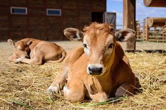 放棄百萬年薪回鄉放牛 她靠養牛致富賺進1.8億