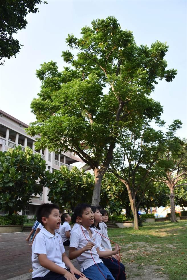 台中市西屯區大仁國小學生最喜歡在無患子樹下遊玩,因為它就像一把大雨傘,在夏天時為學童遮擋太陽。(盧金足攝)