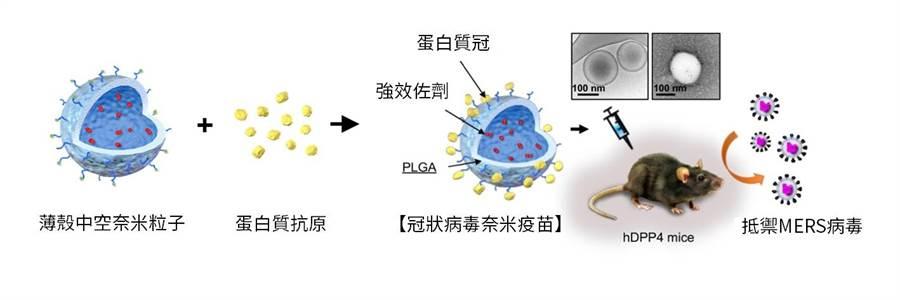 冠狀病毒奈米疫苗作用示意圖。(中研院提供)
