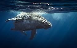 巨鯨突躍出海面 釣客拍下震撼瞬間