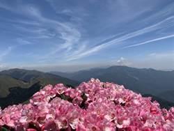 合歡山「玉山杜鵑」大爆發 花況近年最佳