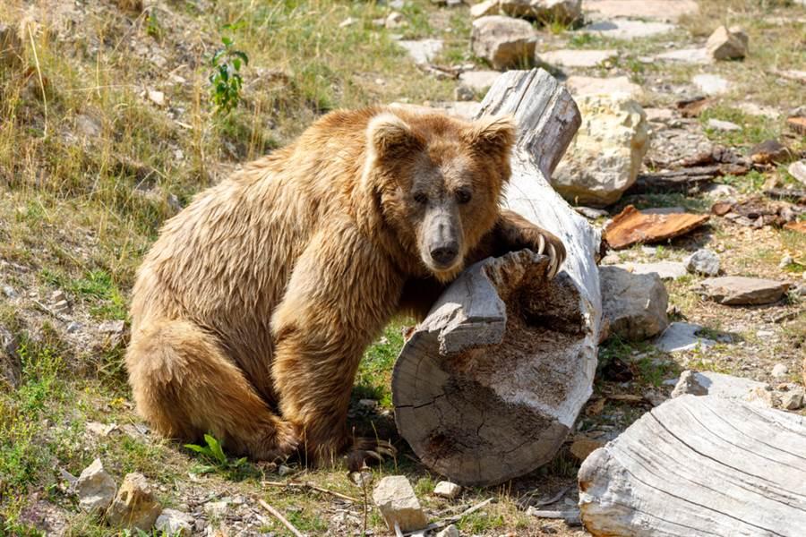 棕熊墜河影片曝!遭砸石塊網心碎(示意圖/達志影像)