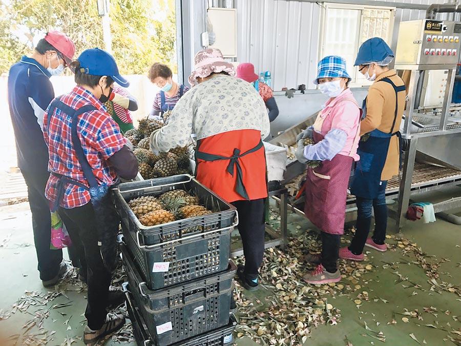 高雄市農產品外銷,至4月底止總量已超越過去一整年;圖為鳳梨裝箱準備外銷情形。(林宏聰攝)
