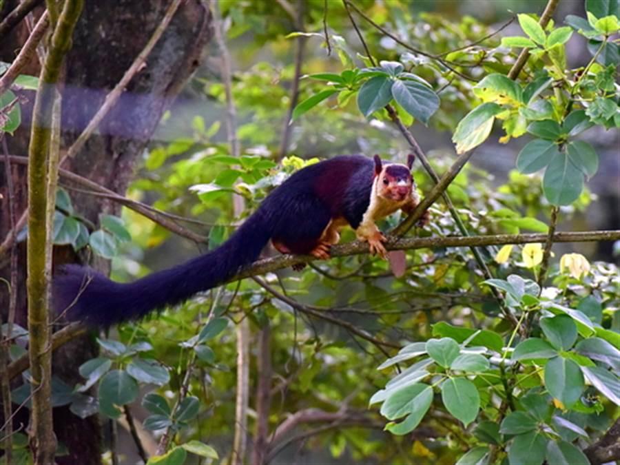印度巨松鼠可長達14吋(圖片取自/達志影像)