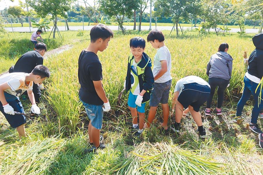 自己種的稻子自己割,官田國小學童烈日下體驗農夫辛勞,收成的稻米一部分將由社區媽媽教導製作飯糰和畢業謝師宴。(劉秀芬攝)