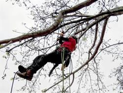 屏科大請攀樹師管理金門老樹減少傷害