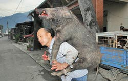 蘭嶼野豬為患 農作物全遭殃