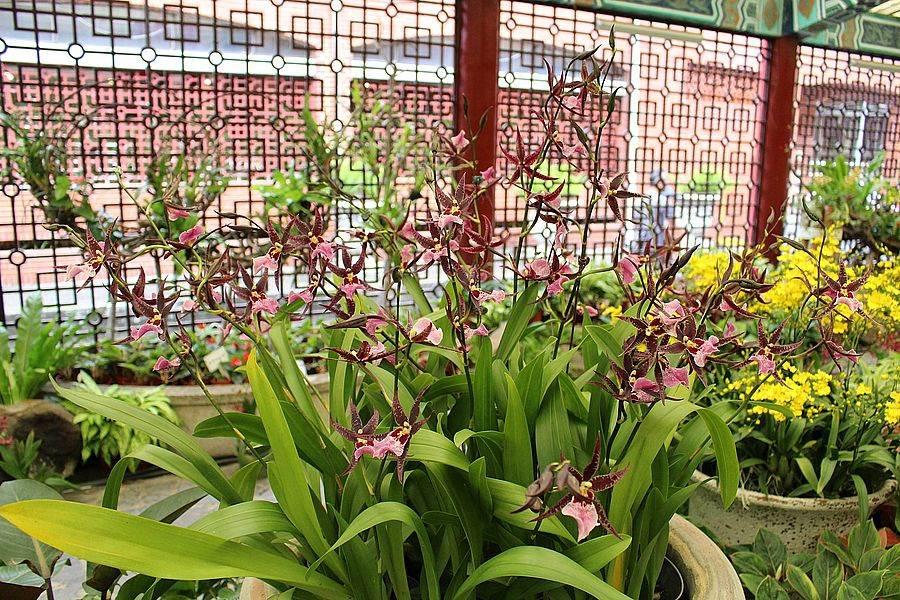 台灣自行育種的紫天王,花瓣呈現神秘誘人的紫。(台北市公園處官網)