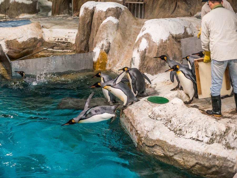 保育員依照兩種企鵝不同的生活習性,設計能讓企鵝多運動的行為訓練。(台北市立動物園提供)