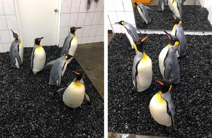 鵝卵石非常平滑,利用不規則鋪面改變企鵝重心,避免牠們腳底同一點持續承受身體的重量。(李谷豐攝)