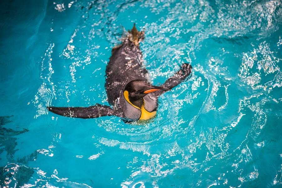 過去兩年在國王企鵝繁殖季前,推出晨泳特訓班。(台北市立動物園提供)
