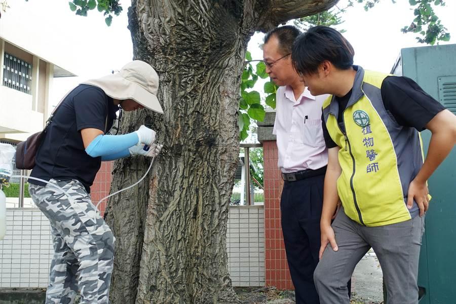 樹醫師對罹病的百年刺桐老樹進行栓塞打針,右二是鄉長林靖焜。(周麗蘭攝)