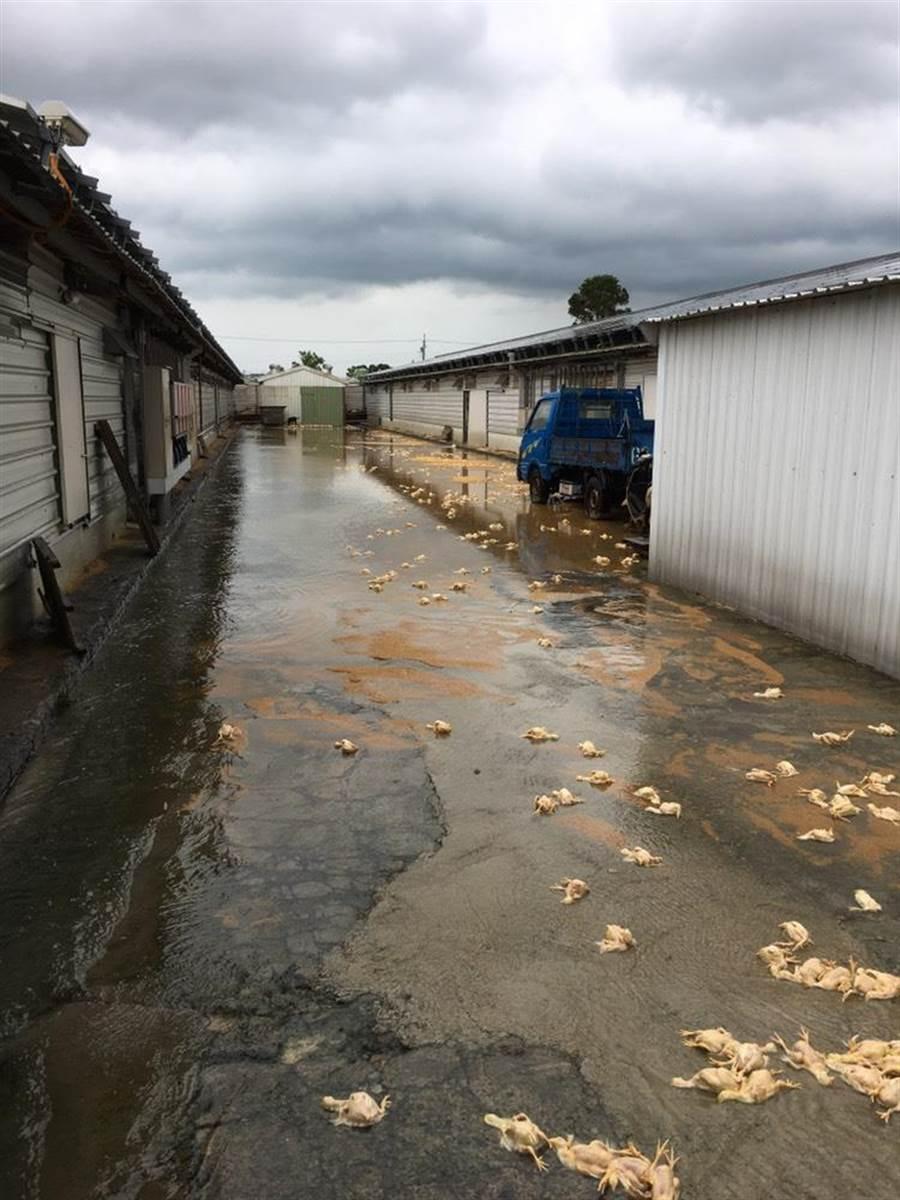簡姓業者在新豐鄉埔和村飼養雞隻已有20餘年,此次逢豪雨成災,一夕之間損失9000隻幼雞。(莊旻靜翻攝)