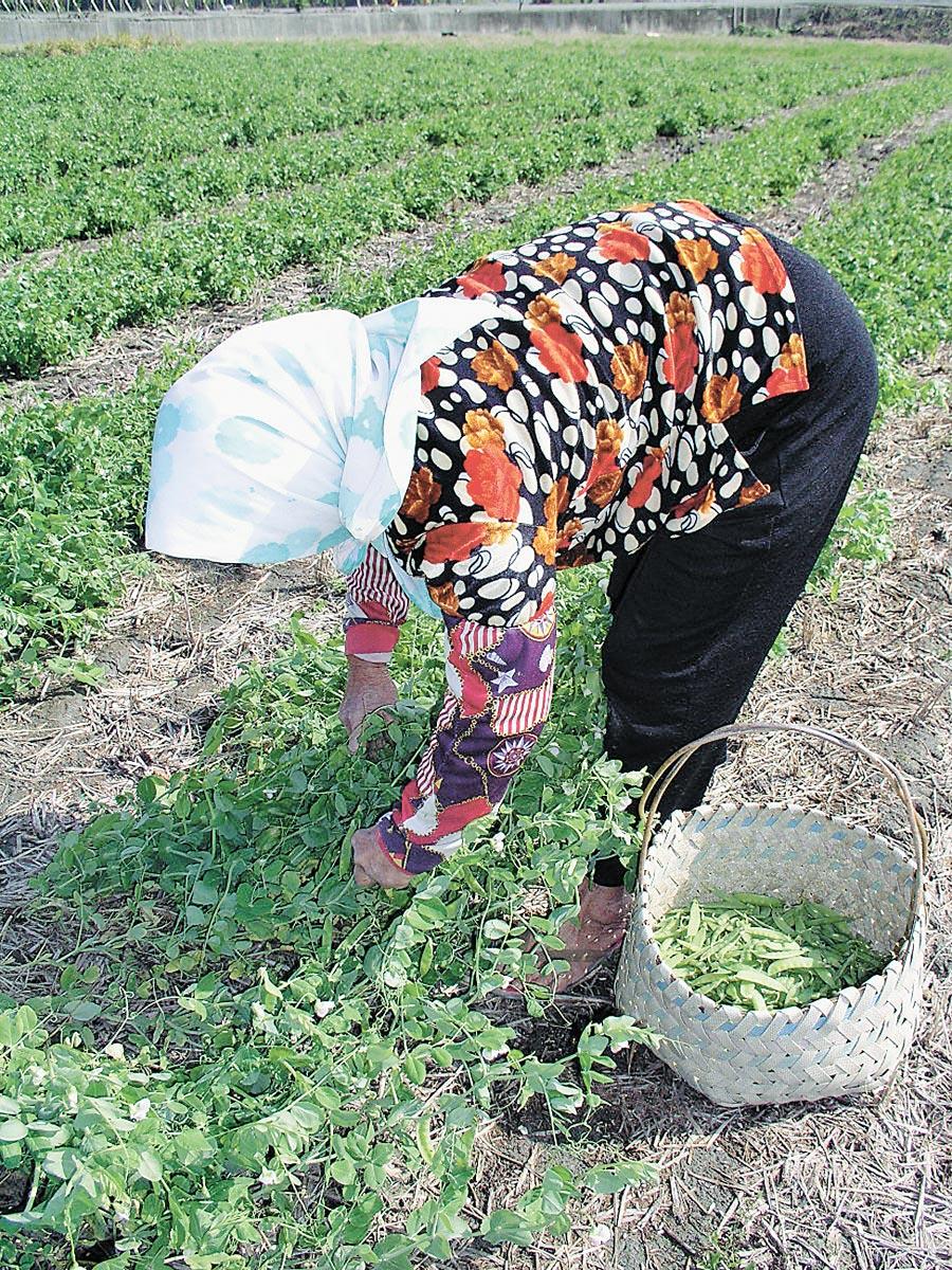 豌豆是人造肉的原料。(本報系資料照片)