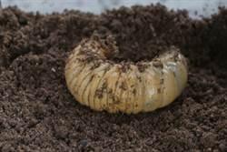 野外發現巨型幼蟲 飼養後令人驚呆