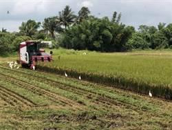 一期稻作產量少、價格不美麗 農民悶在心