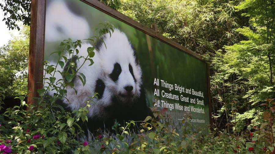 成都大熊貓繁育研究基地一景。(圖/旺旺中時文化傳媒(北京)有限公司 蹇金津)