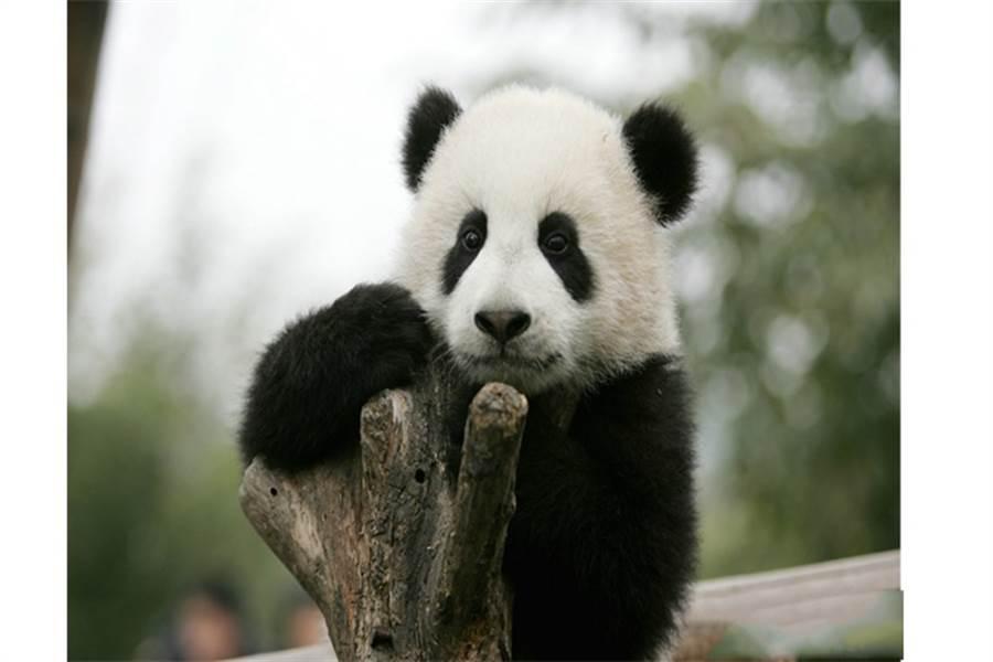 基地里生活的熊貓之一。(圖/旺旺中時文化傳媒(北京)有限公司 蹇金津)