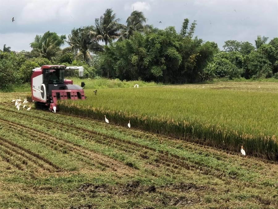 一期稻作進入結穗期等待熟成,一些較早種植的稻作也開始收割,今年年受到氣候及稻熱病影響,每分地產量減少3分之1,大約在1000台斤左右,濕穀每台斤收購價約在8.3元,農民開心不起來。(莊曜聰攝)