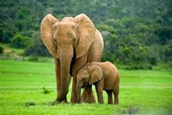 村民拿石頭扔小象 母象暴怒踩死人